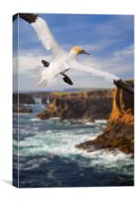 Northern Gannet at Eshaness, Canvas Print