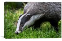 Foraging Badger, Canvas Print