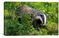 European Badger in Meadow, Canvas Print