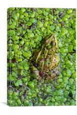 Green Frog, Canvas Print
