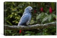 Congo Grey Parrot, Canvas Print