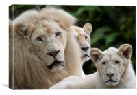 White Lion Pride, Canvas Print