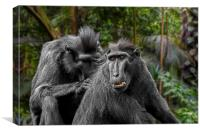 Celebes Crested Macaques, Canvas Print