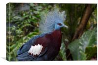 Sclater's Crowned Pigeon, Canvas Print
