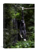 White-handed Gibbon, Canvas Print