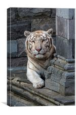White Tiger in Temple, Canvas Print