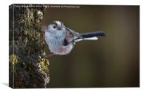 Long tailed tit, Canvas Print
