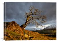 Low Rigg Lone Tree Golden Hour, Canvas Print