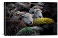 Lake District Herdwick Sheep, Canvas Print