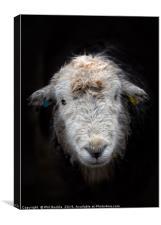 Bedraggled Herdwick Sheep, Canvas Print