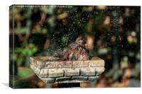 Juvenile Blackbird Washing, Canvas Print