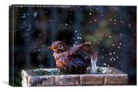 Juvenile Blackbird having a bath, Canvas Print