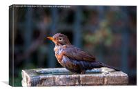 Juvenile Blackbird, Canvas Print