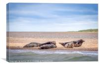 Seals at Blakeney Point Norfolk, Canvas Print