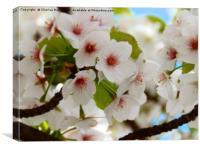 Cherry Blossom Tree Framed Photo Print, Canvas Print