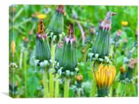 A row of yellow wilted dandelion flower buds, Canvas Print
