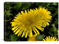 Yellow dandelion flowers framed photo print, Canvas Print