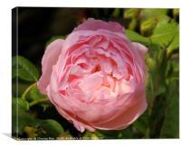 Pink rose flower framed photo       , Canvas Print