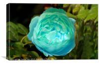 Blue rose flower, Canvas Print
