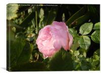 Alone pink rose flower, Canvas Print