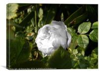 A single rose flower, Canvas Print