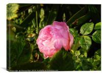 A single pink rose flower, Canvas Print