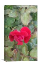 A closed red rose flower, Canvas Print