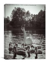 A Swan and Cygnets on Sefton Park Lake, Liverpool., Canvas Print