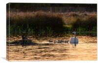 Mute swan adult with cygnets, Canvas Print