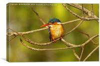 Malachite Kingfisher - Alcedo cristata, Canvas Print