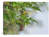 Willow Warbler flutter, Canvas Print