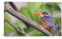 Malachite Kingfisher, Canvas Print