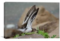 Common Sandpiper about to take-off., Canvas Print