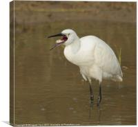 Little Egret swallowing fish, Canvas Print