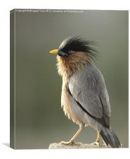 Brahminy Starling, Canvas Print