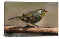 Red-billed Leiothrix, Canvas Print