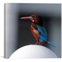 White-throated Kingfisher, Canvas Print