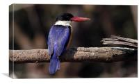 Black-capped Kingfisher, Canvas Print