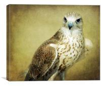 The Saker Falcon Stare, Canvas Print