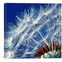 Dandelion Seeds, Canvas Print
