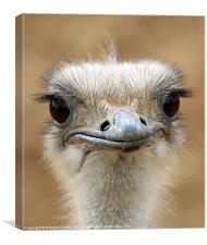 Ostrich, Canvas Print