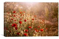 Morning light on Poppies, Canvas Print