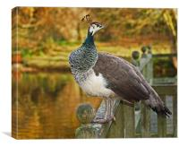 Peahen in Autumn, Canvas Print