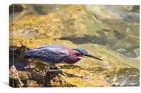 Green Heron fishing, Canvas Print