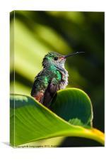Hummingbird basking in dawn Sun, Canvas Print