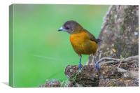 Cherries Tanager perching, Canvas Print