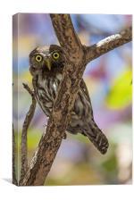 costa rican pygmy owl, Canvas Print