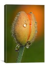 Poppy drops, Canvas Print