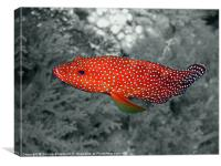 Red Coral Cod Fish over Hard Coral, Canvas Print