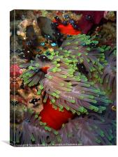 Domino Damselfish in Anemone, Red Sea, Egypt, Canvas Print